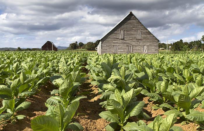 tobaccows